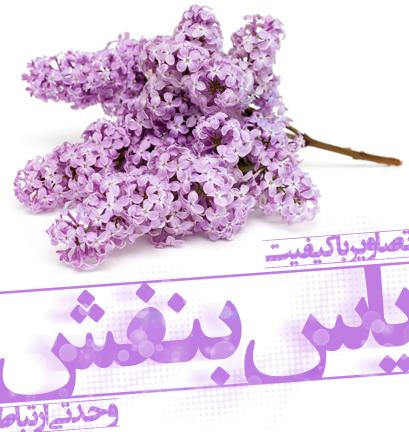 یاس بنفش / Lilac