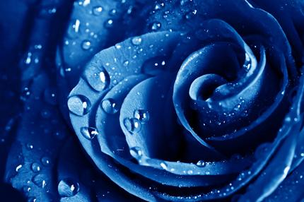 رز آبی / Blue Rose