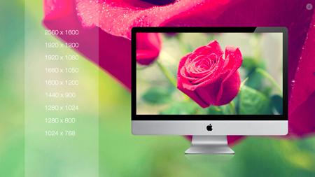 گل رز / Rose Flower